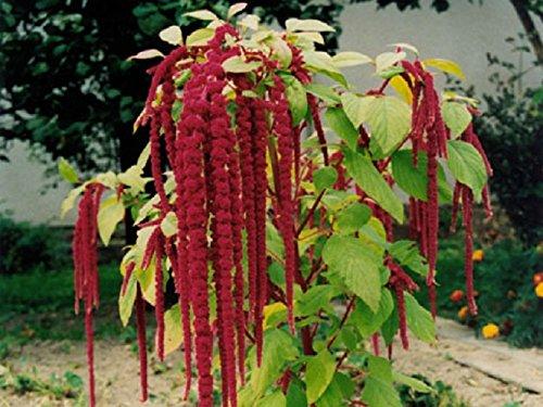 50 graines semences queue de renard rouge pourpre fleur annuelle a couper