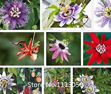Fash Lady Promotion 100 Pcs Exotique Passion Fruit Graines Pourpre Passiflora edulis Passion Graines De Fleurs En Plein Air Plante Novel Seed