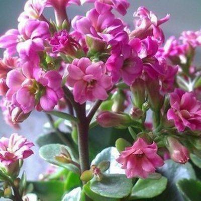 Graines Bonsai Red Longevity Flower Plantes Kalanchoe nouveaux pour le bricolage jardin 50 graines / paquet