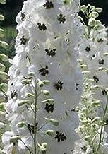 25+ White Magic Fountains w/Dark Bee Delphinium Flower Seeds / Perennial