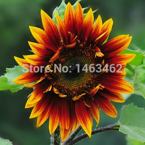 15pcs / sac tournesol rouge fleur graines, fruits et légumes graines peuvent apporter la bonne chance Bonsai plantes Semences pour la maison et le jardin