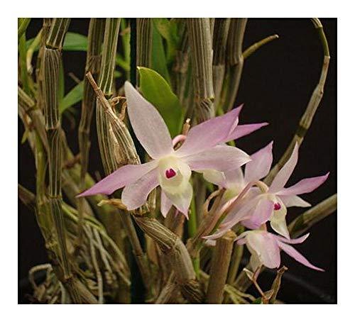 Dendrobium pachygloossum - orchidées - 100 graines