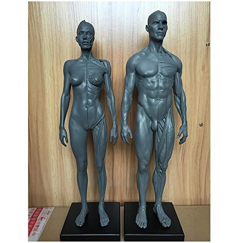 Figura Human Anatomy - Músculo esquelético Humano Modelo anatómico 11,8 Pulgadas Male Muscle Bone Model - Human Anatomy Figura Figuras Maniquí Dibujo - Petición Artista,Combination