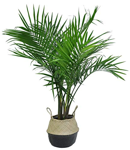 Costa Farms Majesty Palm in Seagrass Basket Live Indoor Plant 3 to 4-Feet Tall, 3-Foot, Black-Natural