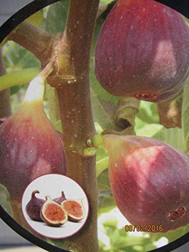 Feige Madeleine de deux Saisons - Ficus carica Madeleine de Saisons