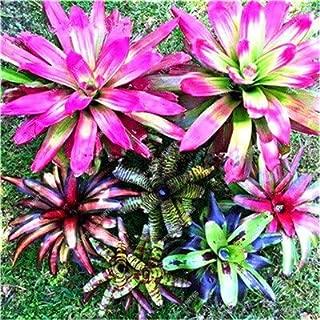 Kasuki Best-Selling 100pcs Cactus Bromeliad Succulent Rare Colorful Flower Bonsai Courtyard Mini Plant Succulent Bonsai DIY Home Garden - (Color: 4)