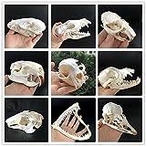 Exquisite Natural Skull Dog Head Fox Cat Mink DIY Science 1:1 Scale Model Specimen DIY (Nutria Skull)