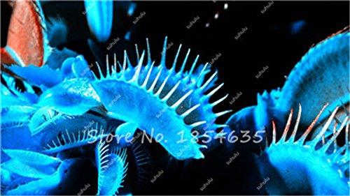ADB Inc 2016 Bleu Dionaea Muscipula Giant Clip Venus Flytrap Graines