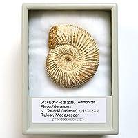TOKYO SCIENCE アンモナイト ペリスフィンクテス 化石標本(Ammonites Perisphinctes sp.)産地:マダガスカル