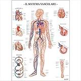 Formato 67x100 cm Soggetto Sistema Vascolare Materiale carta plastificata Tipologia sistema vascolare Poster Scientifico