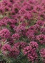 Crucianella Phuopsis Stylosa Perennial Seeds