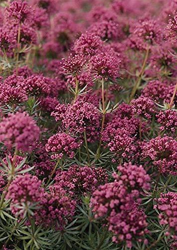 Pase Seeds Crucianella Phuopsis Stylosa...
