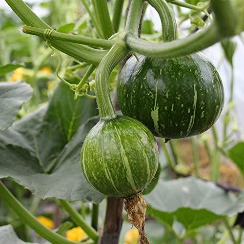 Semillas de calabaza verde 40 piezas (Cucurbita moschata) Vegetales de calabaza Semillas de plantas frescas y premium para plantar Jardín Outddor Yard