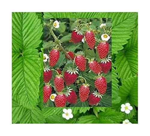 Monatserdbeere Rügen - Wald-Erdbeere - 50 Samen
