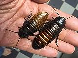 Honeybees100 Madagascar Hissing Cockroach SEXED Pair M/F (Gromphadorhina portentosa)