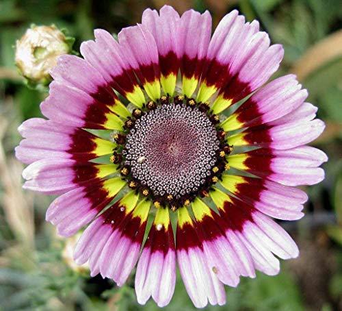 Fash Lady Gänseblümchen, gemalt, Tricolor Tri Color Flower, 60 Samen!Groco