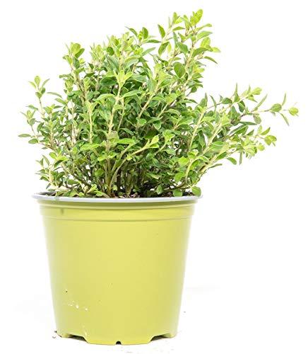 mgc24 Majoran, echte frische Kräuter Pflanzen im 14cm Topf, Origanum majorana, Höhe ca. 10cm