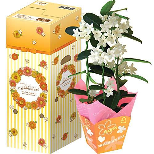 花のギフト社 母の日 マダガスカルジャスミン 花鉢 鉢花 鉢植え プレゼント 花 鉢 フラワーギフト