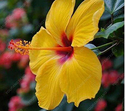 100 particules / sac géant Hibiscus Flower Garden Seeds & Home vivaces Plantes en pot de fleurs Hibiscus ferme heureuse Bonsai Semence Jaune clair