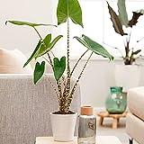 Alocasia zebrina | Plante verte d'intérieur | Purificatrice d'air | Hauteur 75-80m | Pot de Ø 19cm
