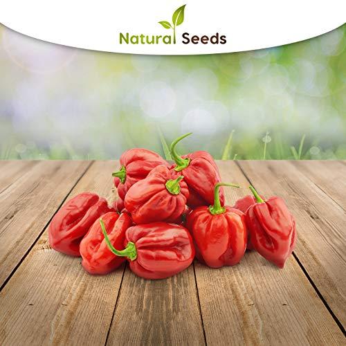 rote wundervoll scharfe Habanero 25 x Samen aus Portugal 100% natürlich ohne chemische Anzuchthilfe oder Gentechnik, einfach nur Natur Pur !