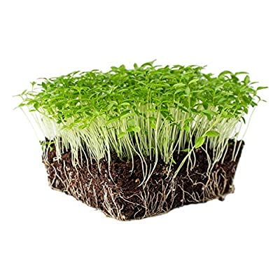 Dark Green Italian Flat-Leaf Parsley Seeds: Non-GMO Herb Seeds for Herbal Garden & Microgreens