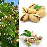 good01 5 Piezas De Semillas De Frutas De Higuera  ...