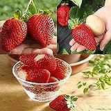 Benoon Semillas De Fresa, 1 Bolsa Semillas De Fresa Semillas De Fresa Trepadoras Rojas Pequeñas De Alto Rendimiento Y Sabor Dulce Para Jardín