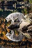 Pintura por Números,Lobo blanco animal,DIY Pintura al óleo Colorido Pintar Kit de,Lienzo Preimpreso de con Pinceles y Pigmento Acrílico (16 X 20 Pulgadas,Sin Marco)