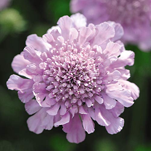 Scabious Purple Hardy Garden Plants, Summer Flowering Perennial, Attracts Bees and Butterflies, Gardens and Patios, Easy to Grow, 5 x Scabious Kudos Purple Plug Plants by Thompson & Morgan (5)