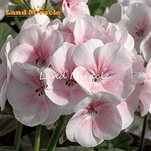 VISTARIC 10: 100 Pcs vrai Graines de Cactus mixte, intérieur Mini Cactus, Figuier, Graines Bonsai Fleur, Plante en pot pour jardin So Rare 10