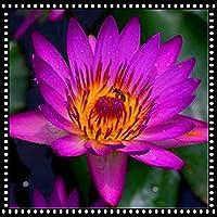スイレン スイレンの種 ほぼ年中植付け可能 デスクトップの花 庭に植える 観賞用 栽培用 高い発芽率-100 個