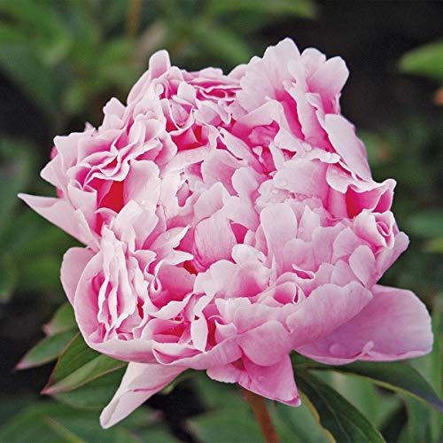 Burpee Sarah Bernhardt' Perennial Peony | 1 Flowering, 1 Bare Root Plant