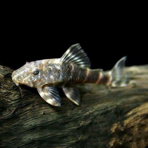 (熱帯魚)タイガープレコ(約4-5cm)<1匹>[生体]