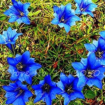 Vistaric Hohe Qualität Bonsai Largeleaf Enzian Samen Mehrjährige Blaue Blumensamen Blühende Pflanzen Diy Hausgarten Haushalt 100 Stücke