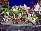 FERRY Bio-Saatgut Nicht nur Pflanzen: Liad Cryptanthus 10PK ASST M 41 Reifen - unbloomed- Terrarien
