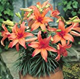 3 Hardy Lily - Dwarf Asiatic 'Peach Pixie' - Order Now for Spring Planting!!