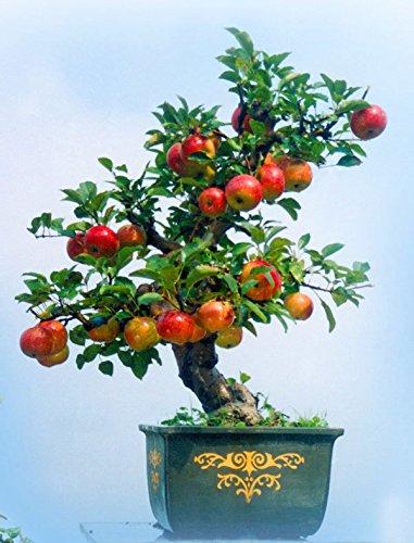 15 / paquet Pommier graines de maison et de jardin plantation, fruit délicieux bonsaï 100% réel graines fraîches