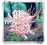 リコリス球根&珍しい根茎タイプ、絶妙な屋内と屋外の魔法の装飾、,Pink,2球根