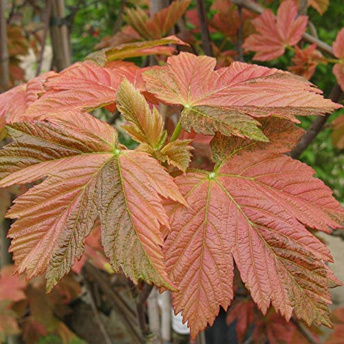 Acer pseudoplatanus Simon Louis Freres   Variegated Sycamore   Tree   5-6ft