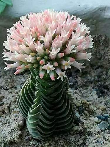 "SmartMe Crassula Buddha's Temple Succulent Plant 4"" Pot - e2"