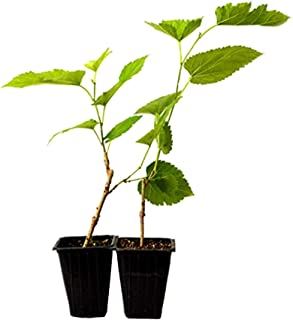 9GreenBox - Dwarf Mulberry Tree - 2 Pack