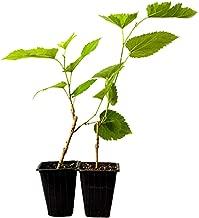 9GreenBox - Dwarf Mulberry Tree - 2 Pack