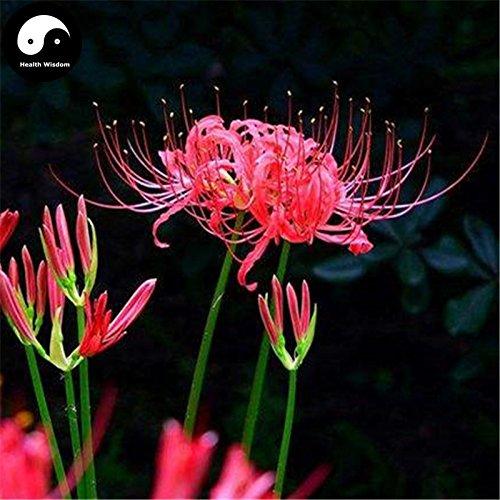 Kaufen Rote Spinnen-Lilien-Blumensamen 240pcs Pflanze Blume Lycoris Radiata Garten