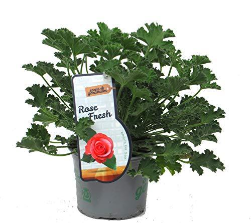 Pelargonium 'Rose Fresh'- Duftgeranie Rose- 'Mosquito Fighter' im 12 cm Topf