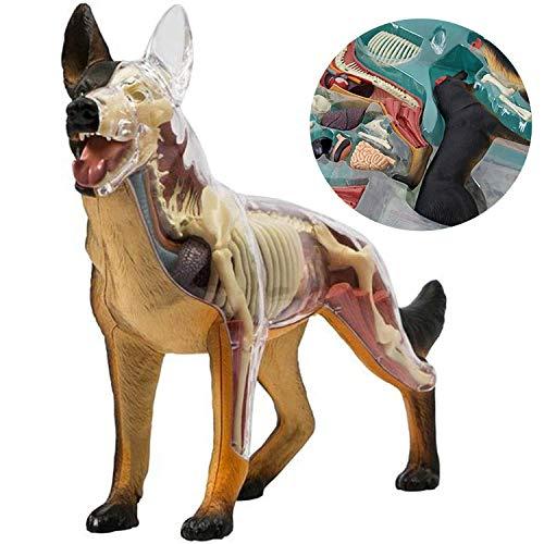 Modelo de Perro de Lobo de Modelo anatómico Animal - Modelo de anatomía de Perros Vision 4D - Modelo médico para Perros - para Estudio de educación médica, Rompecabezas de ensamblaje