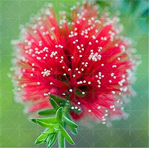 Bloom Green Co. 50 Unids Semillas de Narcisos de Colores (No Bombillas de Narciso) Semillas de Flores Bonsai Plantas Acuáticas Pétalos Dobles Narciso Planta de Jardín en Casa: 18