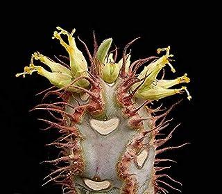 Euphorbia Iharanae Exotic Color Madagascar Rạre Bónsai Blue Cacti SéẹD 10 SéẹDs Seeds_Easy_Grow