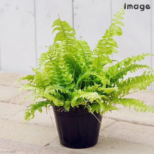 charm(チャーム) (観葉植物)シダ ネフロレピス ツデー 3号(1ポット)