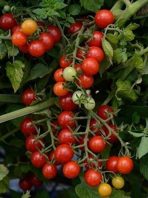 Mini-Tomate \'Sweet Pea Currant\' 20 Samen Kleinste und am besten. Kinder lieben sie